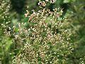 20160624Agrostis capillaris2.jpg