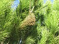 2018-01-17 Processionary pine caterpillar silk nest, Albufeira.JPG