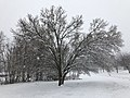 2018-03-21 09 07 44 A snow-covered Bradford Pear starting to slowly split apart along Stone Heather Drive (Virginia State Route 7283) in the Franklin Farm section of Oak Hill, Fairfax County, Virginia.jpg