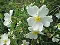20180503Rosa spinosissima2.jpg
