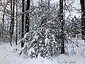 2019-01-14 08 41 32 An American Holly after a heavy snowfall along a walking path in the Franklin Farm section of Oak Hill, Fairfax County, Virginia.jpg