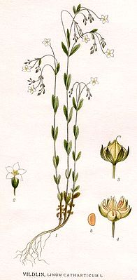 Purgier-Lein (Linum catharticum), Illustration