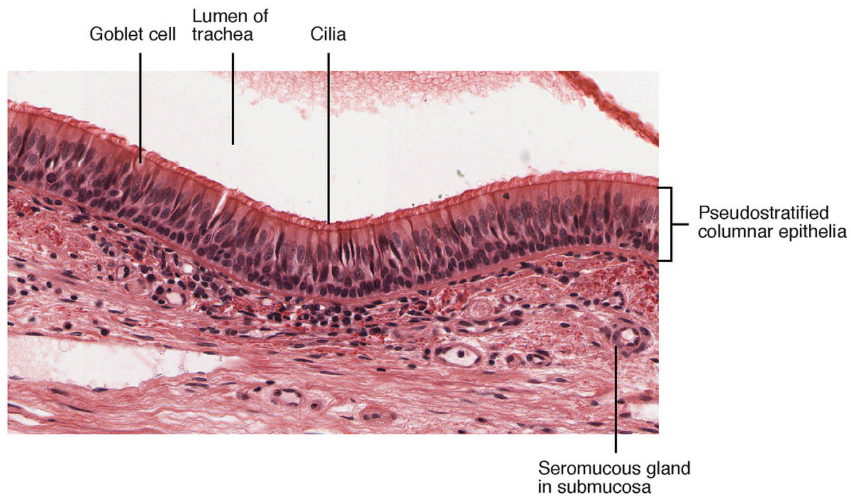 Air-liquid interface cell culture - Wikipedia Epiglottis Histology Labeled