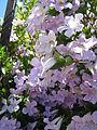 2 11 2011 Bignonia callistegioides 1.jpg