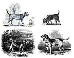 "Beagle - Early images of the Beagle (clockwise from top left): 1833, 1835, Stonehenge's Medium (1859, reusing Youatt's 1852 ""Beagle"" image) and Dwarf Beagle (1859)."