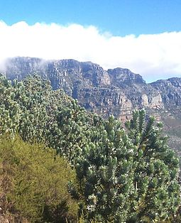 Silver trees (Leucadendron argenteum) only occur naturally on the granite and clay soils of the Cape Peninsula, surrounding Table Mountain and the Back Table. A few tiny patches, possibly planted there early in the Cape Colony's history, occur near Stellenbosch, Paarl and Somerset West. This photo was taken on Lion's Head, looking towards the Twelve Apostles. 4 Silvertrees on Lions Head - Cape Town.JPG