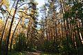 71-249-5035 Dakhnivka Pines DSC 5750.jpg