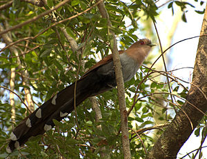 Squirrel cuckoo - The contrasting undertail plumage. Note the red eye-ring, typical of squirrel cuckoos in most of South America