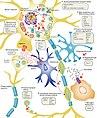 ALS Disease Pathology and Proposed Disease Mechanisms.jpg
