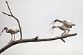 AR PN COSTA03 SANTAY FAUNA White Ibis 020 (13993548078).jpg