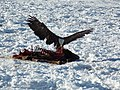 A Bald Eagle Enjoys an Easy Meal (8390321970).jpg