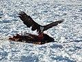 A Bald Eagle Enjoys an Easy Meal (8390321970).jpg