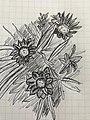 A Drawing of flower Gazinia.jpg