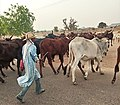 A Herd Boy with his Herd of Cattles.jpg
