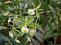 A and B Larsen orchids - Epidendrum Butterpatty Dscn2434.jpg
