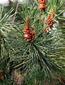 A close-up detail of pine at Gibberd Garden Essex England.JPG