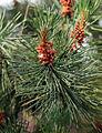 A close-up detail of pine at Gibberd Garden Essex England.JPG