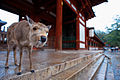 A deer on the steps of one of Exterior of Tōdai-ji temple complex buildings. Nara, Nara Prefecture, Kansai Region, Japan.jpg