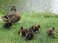 A duck and ducklings by a lake.jpg