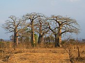 A group of baobab trees in the Mikumi National Park, Tanzania.jpg