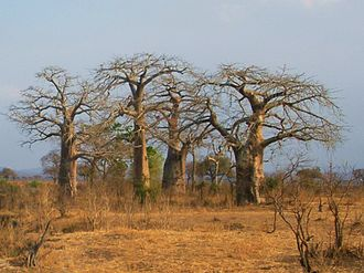 Mikumi National Park - A group of baobab trees in the Mikumi National Park, Tanzania.