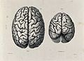 A negroid brain compared with a chimpanzee brain. Lithograph Wellcome V0021473.jpg