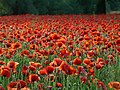 A profusion of poppies - geograph.org.uk - 847642.jpg