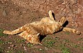 A sunbathing cat at St Abbs - geograph.org.uk - 1527439.jpg