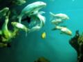 A yellow fish between white fishes bangalore aquarium, india.png