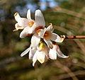 Abeliophyllum distichum kz1.JPG