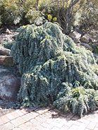 Acacia baileyana prostrate IGP email