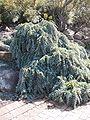 Acacia baileyana prostrate IGP email.jpg