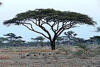Acacia tortilis 1