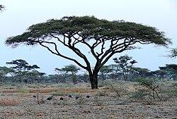 Acacia tortilis 1.JPG