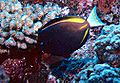 Acanthurus nigricans by NPS.jpg