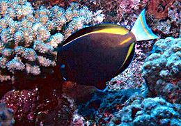 Acanthurus nigricans by NPS