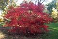 Acer Palmatum Suminagashi.png