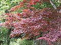 Acer palmatum var amoenum cv Sanguineum2.jpg