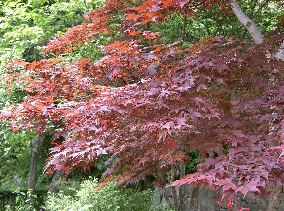 Acer palmatum var amoenum cv Sanguineum2