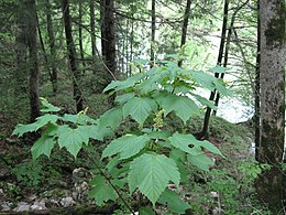 Acer spicatum whole tree.jpg