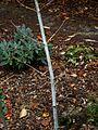 Acer tegmentosum - Flickr - peganum (1).jpg