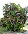 Acoelorrhaphe wrightii - Everglades National Park - DSC09325.jpg