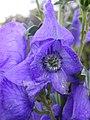 Aconitum carmichaelli 'arendsii' 27-10-2005 16.09.56.JPG