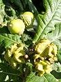 Acorn knopper galls on oak - geograph.org.uk - 950030.jpg