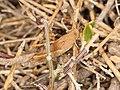 Acrididae sp. (39960553522).jpg