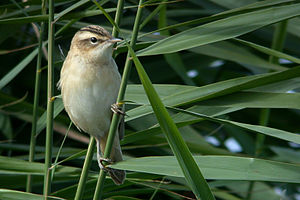 Titchwell Marsh - Sedge warblers breed in the marsh.