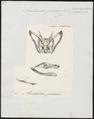 Acrochordus javanicus - schedel - 1700-1880 - Print - Iconographia Zoologica - Special Collections University of Amsterdam - UBA01 IZ11900003.tif
