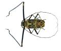 Acrocinus longimanus Linné, 1758 male (8541702148).png
