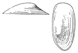 Acroloxus lacustris