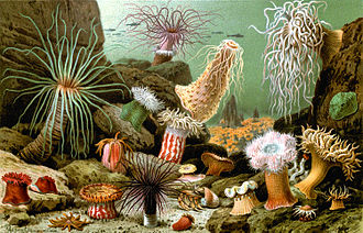 Sea anemone - A selection of sea anemones, painted by Giacomo Merculiano, 1893